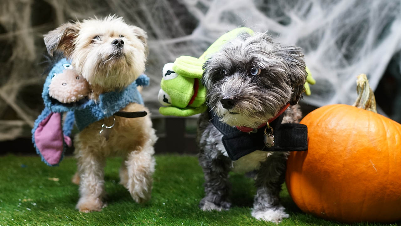 Two small dogs in Eeyore and Kermit the Frog costumes at a Yappy Hour event.